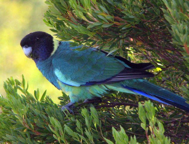 Nwbirding Cockatoo Parrots Broadbill